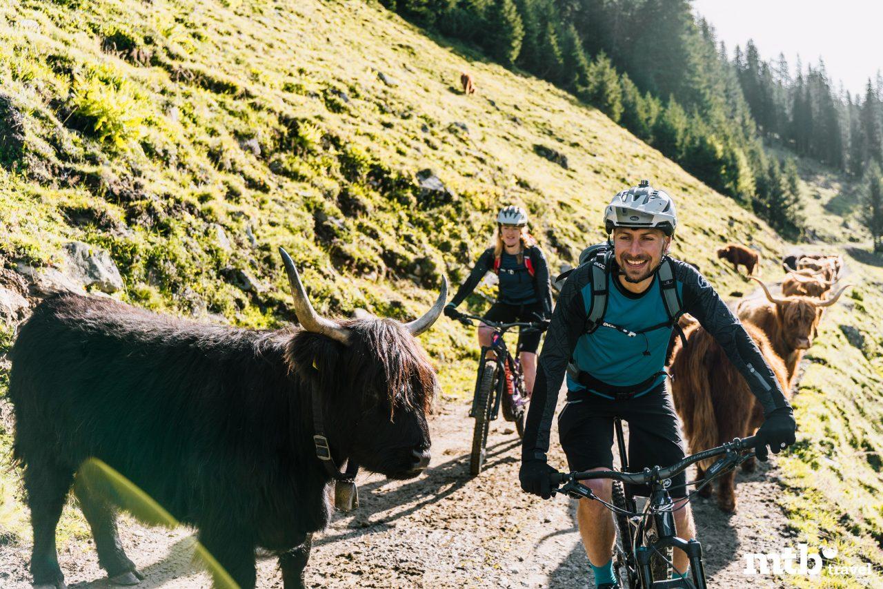 Bike Urlaub im Montafon Kühe
