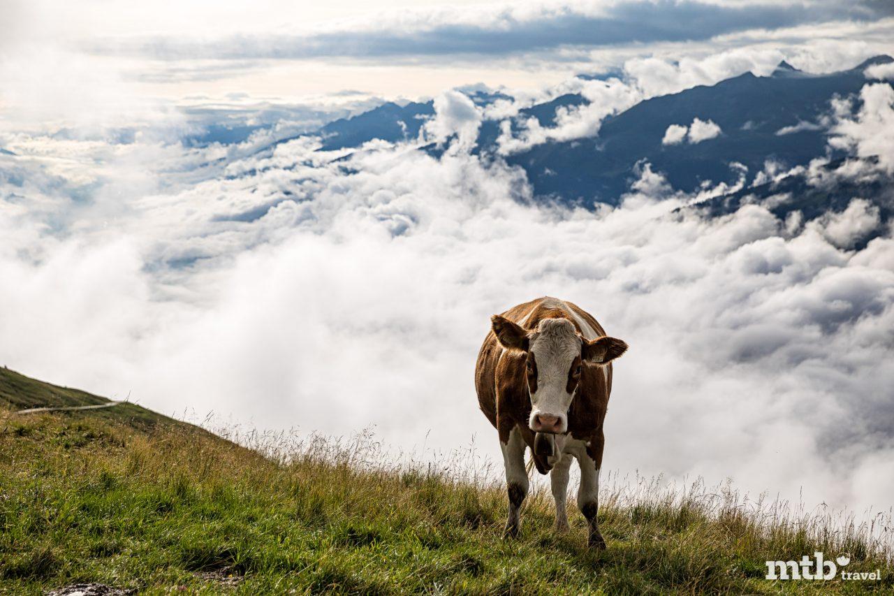 Richtiger Umgang mit Kühen beim Mountainbiken Kuh